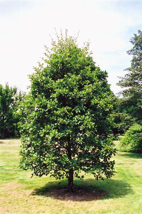 Common Alder Alnus Glutinosa In Edmonton Sherwood Park