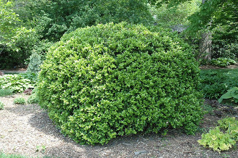 Japanese boxwood buxus microphylla 39 var japonica 39 in for Box significato
