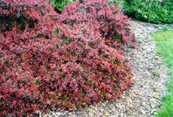 Burgundy Carousel Japanese Barberry (Berberis thunbergii 'Bailtwo') at Classic Landscape Centre