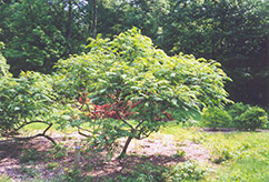 Cutleaf Smooth Sumac (Rhus glabra 'Laciniata') at Classic Landscape Centre