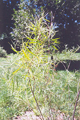 Coyote Willow (Salix exigua) at Classic Landscape Centre