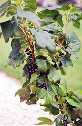 Black Currant (Ribes nigrum) at Classic Landscape Centre