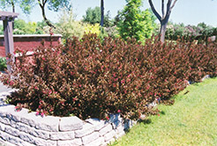 Wine and Roses® Weigela (Weigela florida 'Alexandra') at Classic Landscape Centre