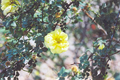 Harrison's Yellow Rose (Rosa foetida 'Harrison's Yellow') at Classic Landscape Centre