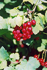 Red Currant (Ribes sativum) at Classic Landscape Centre