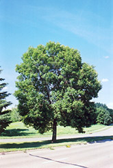 Green Ash (Fraxinus pennsylvanica) at Classic Landscape Centre