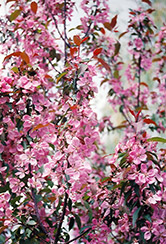 Shaughnessy Cohen Flowering Crab (Malus 'Shaughnessy Cohen') at Classic Landscape Centre