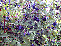 Blue Belle Honeyberry (Lonicera caerulea 'Blue Belle') at Classic Landscape Centre