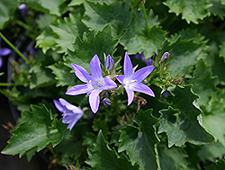 Blue Waterfall Serbian Bellflower (Campanula poscharskyana 'Blue Waterfall') at Classic Landscape Centre