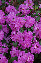 Compact P.J.M. Rhododendron (Rhododendron 'P.J.M. Compact') at Classic Landscape Centre