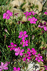 Alpine Pinks (Dianthus alpinus) at Classic Landscape Centre