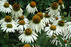 White Swan Coneflower (Echinacea purpurea 'White Swan') at Classic Landscape Centre