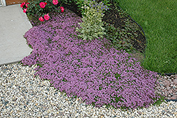 Red Creeping Thyme (Thymus praecox 'Coccineus') at Classic Landscape Centre