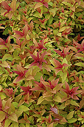 Goldflame Spirea (Spiraea x bumalda 'Goldflame') at Classic Landscape Centre
