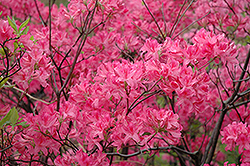 Northern Lights Azalea (Rhododendron 'Northern Lights') at Classic Landscape Centre