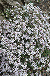 Creeping Baby's Breath (Gypsophila repens) at Classic Landscape Centre