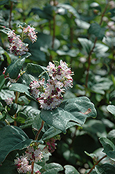 Wolfberry (Symphoricarpos occidentalis) at Classic Landscape Centre