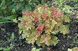 Amber Waves Coral Bells (Heuchera 'Amber Waves') at Classic Landscape Centre