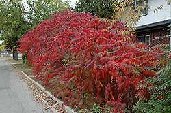 Staghorn Sumac (Rhus typhina) at Classic Landscape Centre
