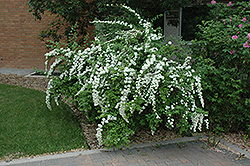 Snow White Spirea (Spiraea 'Snow White') at Classic Landscape Centre