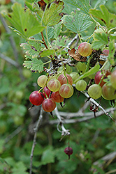 Pixwell Gooseberry (Ribes 'Pixwell') at Classic Landscape Centre