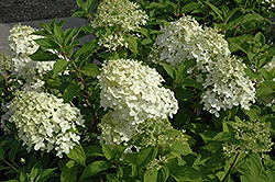 Little Lamb Hydrangea (Hydrangea paniculata 'Little Lamb') at Classic Landscape Centre