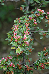 Creeping Cotoneaster (Cotoneaster nanshan) at Classic Landscape Centre
