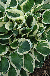 Patriot Hosta (Hosta 'Patriot') at Classic Landscape Centre