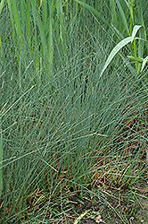 Soft Rush (Juncus inflexus) at Classic Landscape Centre