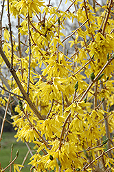 Northern Gold Forsythia (Forsythia 'Northern Gold') at Classic Landscape Centre