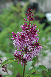 Royalty Lilac (Syringa x prestoniae 'Royalty') at Classic Landscape Centre