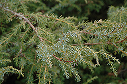 Common Juniper (Juniperus communis) at Classic Landscape Centre
