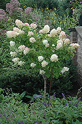 Limelight Hydrangea (tree form) (Hydrangea paniculata 'Limelight (tree form)') at Classic Landscape Centre