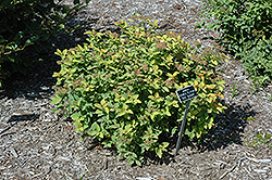 Double Play® Big Bang™ Spirea (Spiraea 'Tracy') at Classic Landscape Centre