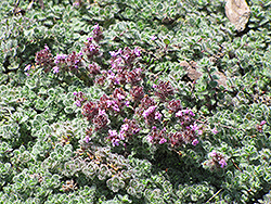 Wooly Thyme (Thymus pseudolanuginosis) at Classic Landscape Centre