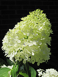Limelight Hydrangea (Hydrangea paniculata 'Limelight') at Classic Landscape Centre