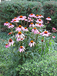 Purple Coneflower (Echinacea purpurea) at Classic Landscape Centre