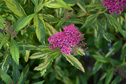 Double Play® Painted Lady® Spirea (Spiraea japonica 'Minspi') at Classic Landscape Centre