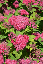 Double Play® Red Spirea (Spiraea japonica 'SMNSJMFR') at Classic Landscape Centre
