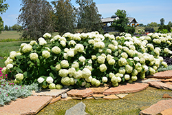 Incrediball® Hydrangea (Hydrangea arborescens 'Abetwo') at Classic Landscape Centre