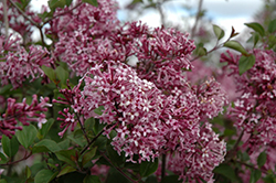 Bloomerang® Purple Lilac (Syringa 'Penda') at Classic Landscape Centre