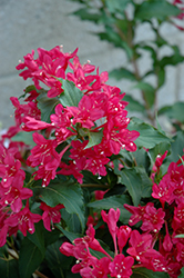 Sonic Bloom Red® Reblooming Weigela (Weigela florida 'Verweig 6') at Classic Landscape Centre