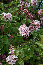 Bloomerang® Pink Perfume Lilac (Syringa 'Pink Perfume') at Classic Landscape Centre