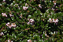 Bearberry (Arctostaphylos uva-ursi) at Classic Landscape Centre