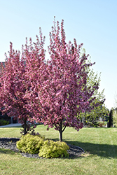 Pink Spires Flowering Crab (Malus 'Pink Spires') at Classic Landscape Centre