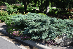 Blue Pfitzer Juniper (Juniperus x media 'Pfitzeriana Glauca') at Classic Landscape Centre