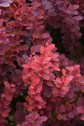 Ruby Carousel Japanese Barberry (Berberis thunbergii 'Bailone') at Classic Landscape Centre