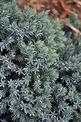 Blue Star Juniper (Juniperus squamata 'Blue Star') at Classic Landscape Centre