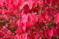 Winged Burning Bush (Euonymus alatus) at Classic Landscape Centre