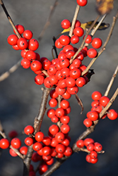 Berry Poppins® Winterberry (Ilex verticillata 'FARROWBPOP') at Classic Landscape Centre